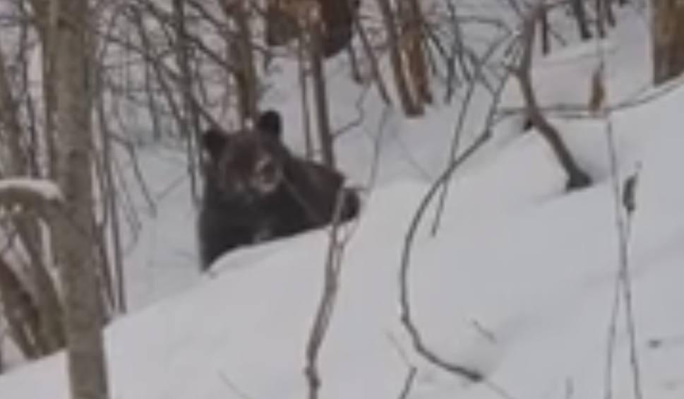 Film do artykułu: Leśniczy Kazimierz Nóżka z Baligrodu do niedźwiedzia: Grzesiu, czemu ty nie śpisz? [WIDEO]