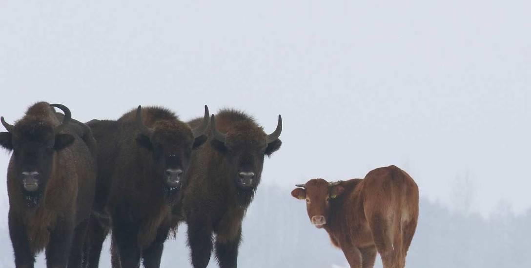 Krowy rasy limousine mają silny instynkt stadny, być może dlatego uciekinierka tak przywiązała się do żubrów. I stała się turystyczną atrakcją