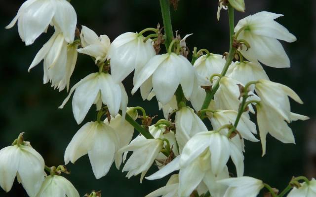 Kwiaty juki karolińskiej wyglądają jak duże, biało-kremowe dzwonki i są bardzo liczne. Mają przyjemny, ale delikatny zapach.