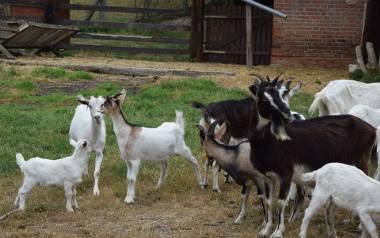 Kozy z gospodarstwa agroturystycznego Qzko w Siedlisku. Początkowo  każda koza miała swoje imię. Dzisiaj wszystkie rozpoznają swojego właściciela, wiedzą