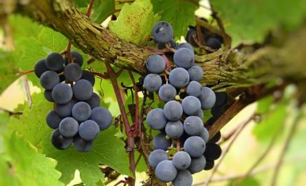 Już po raz piąty Podkarpacka Akademia Wina będzie szkolić przyszłych winiarzy w ramach Studium Praktycznego Winiarstwa [ZDJĘCIA]