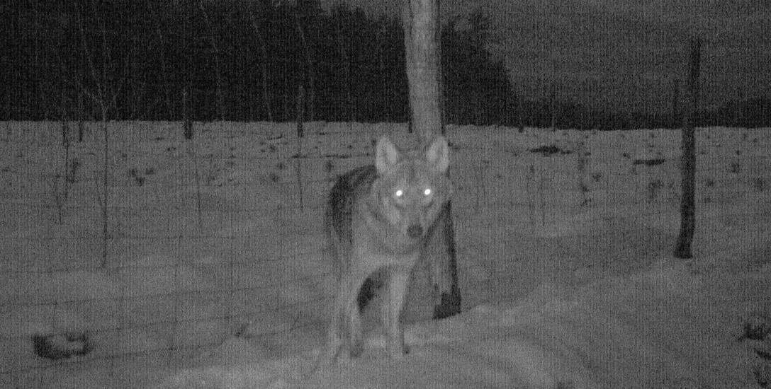 Po długich staraniach udało się sfilmować wilka nocą.