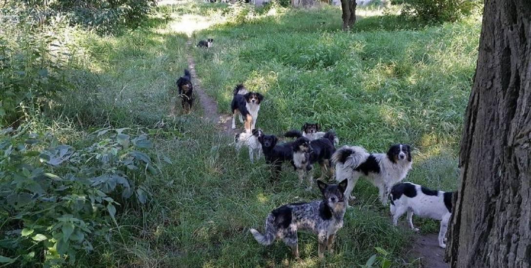 Bezpańskie psy łączą się w watahy, które mogą być groźne dla ludzi
