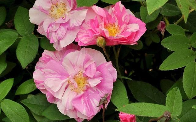 Róża Vesicolo