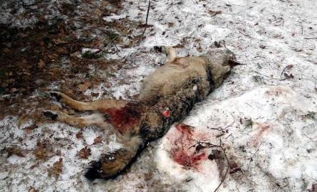 Do zabitej wadery leśniczych doprowadziły ślady krwi