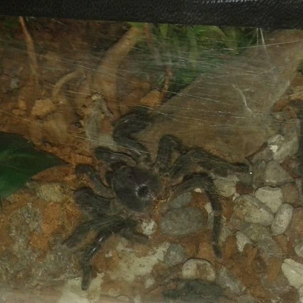 Jadowity pająk w akwarium trafił na śmietnik. A stamtąd w ręce przerażonego miłośnika hodowli rybek. Musiała interweniować Straż Miejska