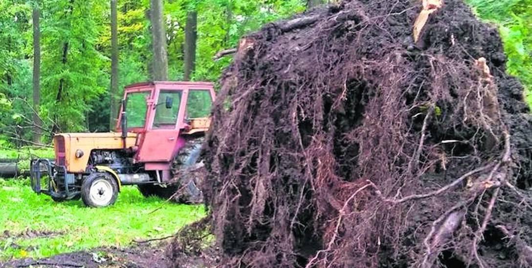 Siła wiatru z żywieckim parku była tak duża, że niektóre z drzew zostały wyrwane z korzeniami. Teraz trzeba odnowić drzewostan