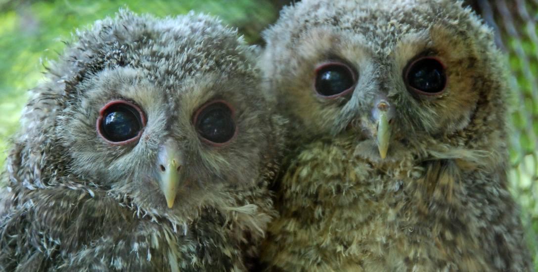 Młode puszczyki - ptaki te często żyją w miastach. Niektórzy twierdzą, że w samej Warszawie jest ich ok. 100 par. Gniazda zakłada w dziuplach. Lubią