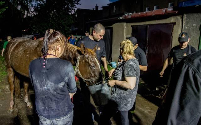 Koń wpadł do kanału w garażu. Dramatyczna akcja ratunkowa [FILM]