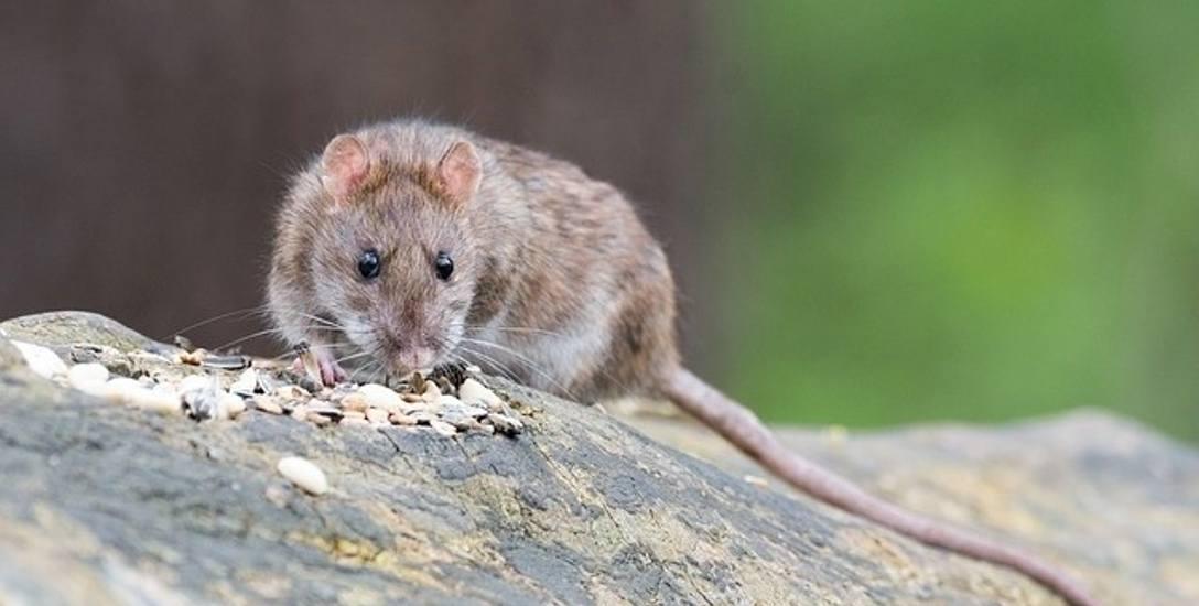 Szczury lęgną się w piwnicy, mieszkańcy mają kłopot
