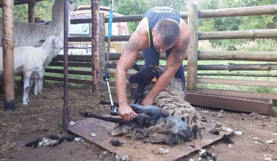 Film do artykułu: Jaworzno: Strzyżenie owiec i alpak w bacówce Wspólnoty Betlejem ZDJĘCIA