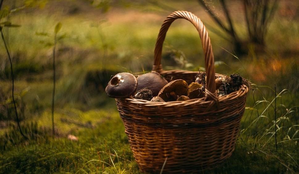Film do artykułu: Można szykować kosze na grzyby, w weekend będzie wysyp w świętokrzyskich lasach [WIDEO]
