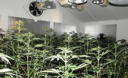 Plantacja z 2 tysiącami krzewów marihuany pod Skierniewicami