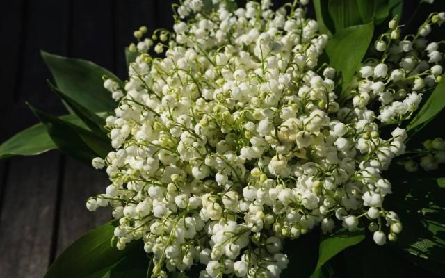 Choćkonwalia to piękna roślina, to może jednocześnie stanowić śmiertelną truciznę.