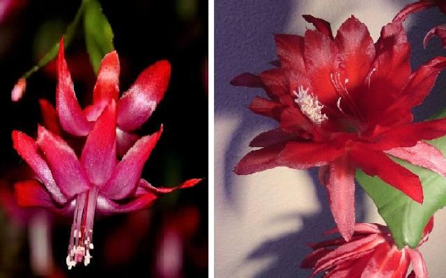 Z lewej kwiat grudnika, z prawej kaktusa wielkanocnego.