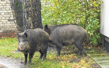 Dziki najdotkliwiej dają się we znaki mieszkańcom regionu. Pojawiają się one zarówno w Koszalinie, jak i w miejscowościach nadmorskich.
