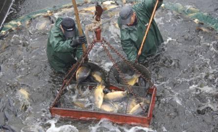 Ryby są podbierakami wyławiane do specjalnych pojemników. Potem trafiają na stół sortowniczy.