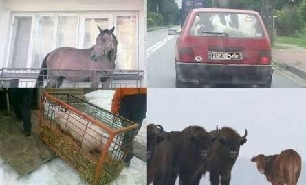 Pamiętacie słynnego konia na balkonie, bohaterską świnkę - uciekinierkę czy cielaka w fiacie? Przypominamy najciekawsze zdjęcia, które stały się popularne