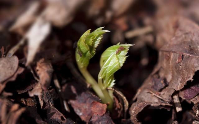 Podagrycznik jest bardzo żywotny. Odrasta nawet z niewielkich fragmentów kłączy, pozostawionych w ziemi. Dlatego zwalczanie go jest uciążliwe i dług