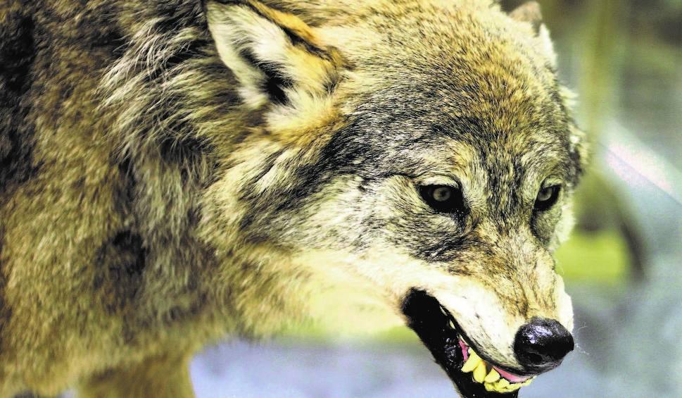 Film do artykułu: Ataki wilków w Bieszczadach. Ludzie się boją: Tylko patrzeć, jak ktoś zadzwoni, że porwały człowieka