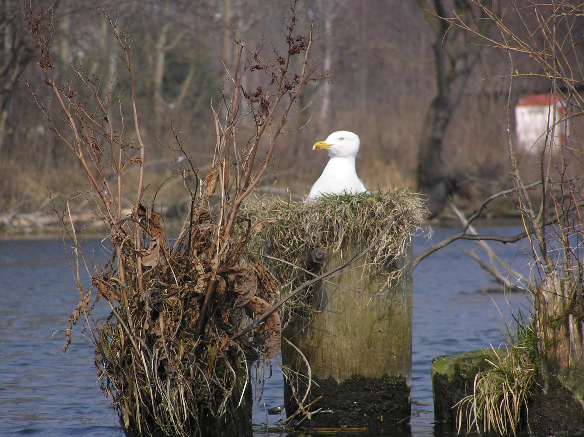 Ptaki Wodne Na Bydgoskiej Brdzie Zobacz Zdjęcia