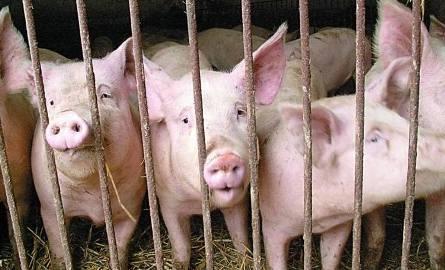 Ile rolnikowi płacą za świnie? Ceny skupu tuczników i macior w regionie [20.08]