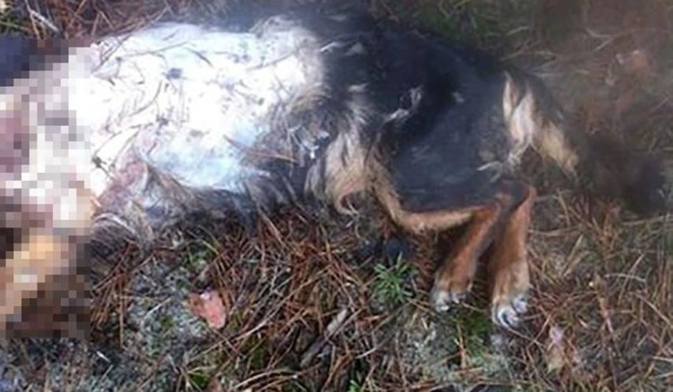 Film do artykułu: Makabryczne odkrycie. Zielonogórzanka znalazła na ul Kożuchowskiej psa z odrąbaną głową. Kto to zrobił?