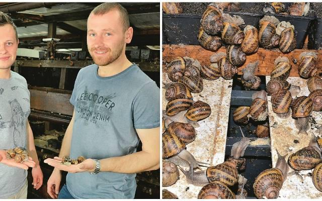 Pomysł na hodowlę, która da zarobić - ślimaki! U hodowców w Kobylance