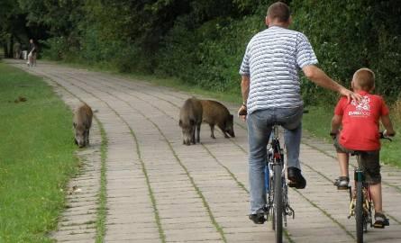 Dziki na Drodze Dębińskiej w Poznaniu