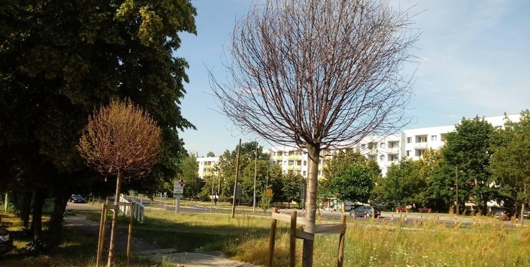 Tak obecnie wyglądają drzewka w okolicy ul. Węgierskiej, które zostały zasadzone w zeszłym roku
