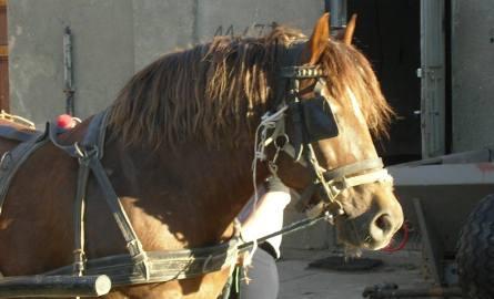 """Koń """"Buła"""" był i jest własnością szkoły - mówi dyrektor ZSP w Benicach"""