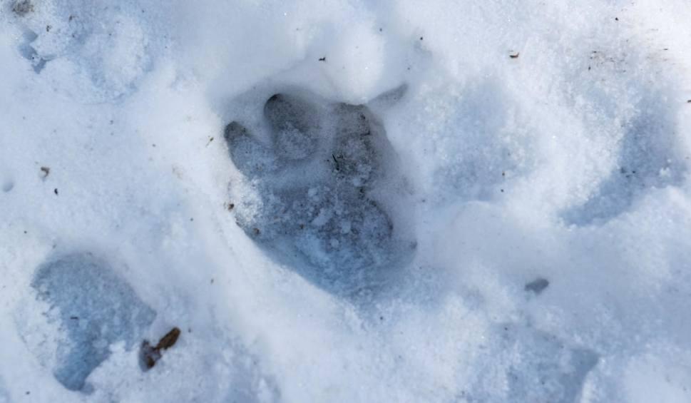 Film do artykułu: Płoszyć czy zabijać? Co robić w sytuacji konfliktu między wilkiem a człowiekiem
