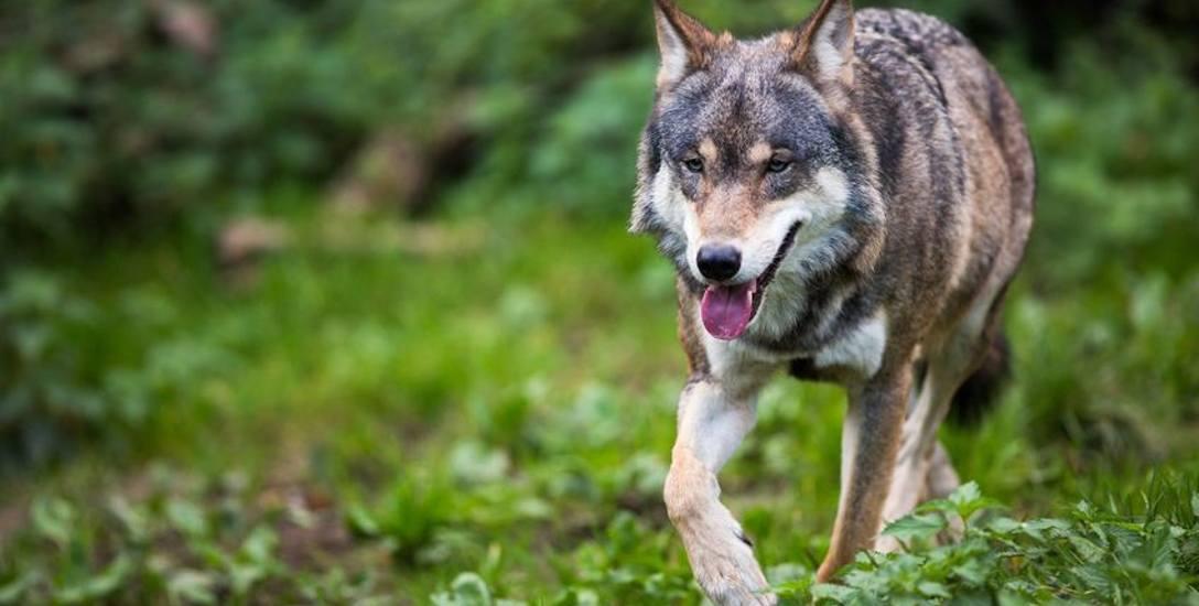 Populacja wilków i strach przed nimi ciągle rosną
