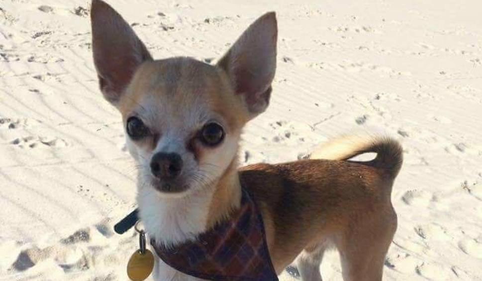 Film do artykułu: Zaginął Charlie - 2 tys. zł nagrody za pomoc w odnalezieniu psa