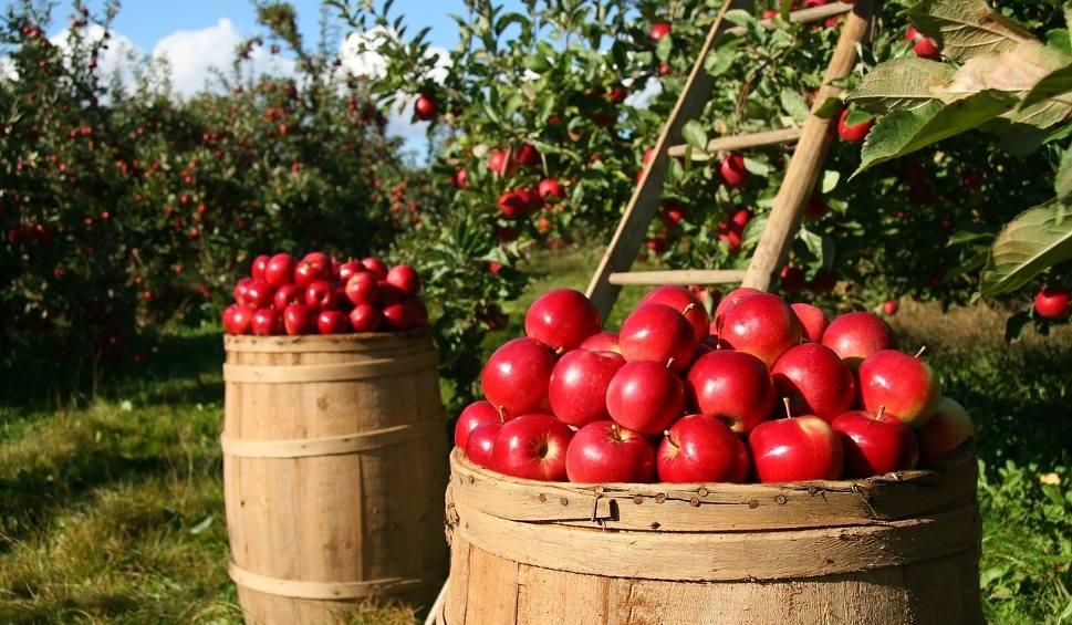 Film do artykułu: Skup jabłek budzi emocje w Świętokrzyskiem. Są limity dla sadowników, punkty skupów nadal bez umów