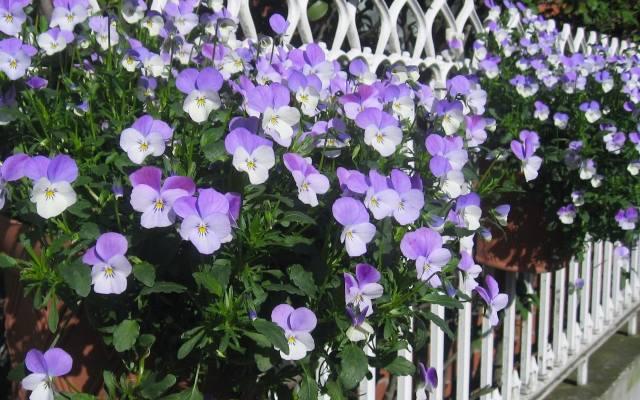Ogrodzenie posesji możemy ozdobić również zawieszając na nim donice z pięknymi kwiatami sezonowymi.