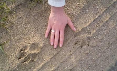 Czy to była puma? Te ślady zostawił duży kot! Obejrzyj zdjęcia