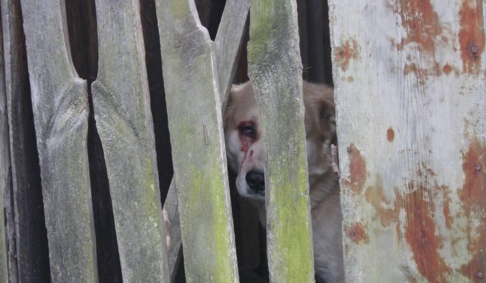 Film do artykułu: Na oczach włoszczowskich policjantów, pastwił się nad psem. Strzelił do niego z wiatrówki