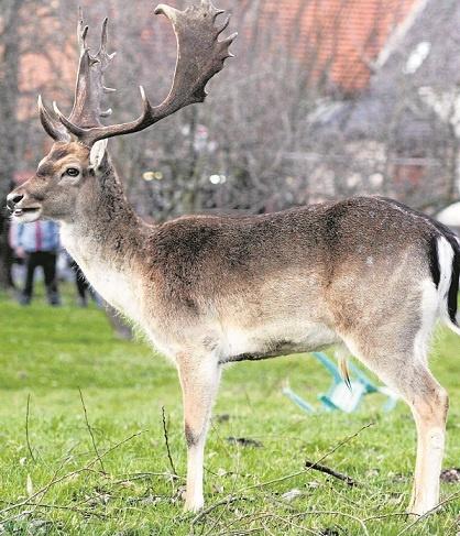 Ten daniel przez kilka dni spacerował sobie po Legnicy. W końcu znudzony wrócił do lasu