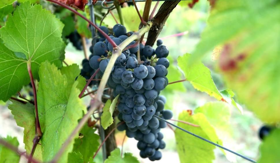 Film do artykułu: Winobranie 2020 w Zielonej Górze. Program winobrania, poniedziałek, 7 września 2020 (7.09.2020)
