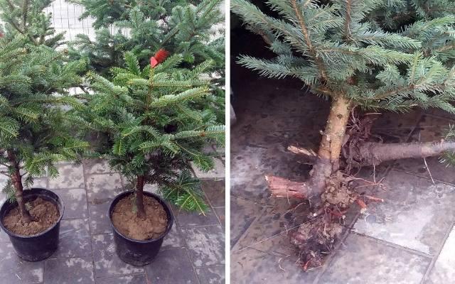 """Drzewko z obciętymi korzeniami będzie """"choinką w doniczce"""" tylko z nazwy. Nie liczmy na to, że przetrwa dłużej niż Święta i przyjmie"""