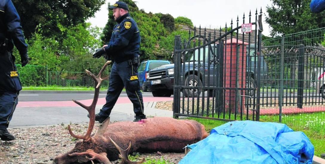 Strażnicy zabezpieczyli miejsce do czasu przybycia weterynarza, niestety tym razem akcja ratunkowa się nie powiodła....
