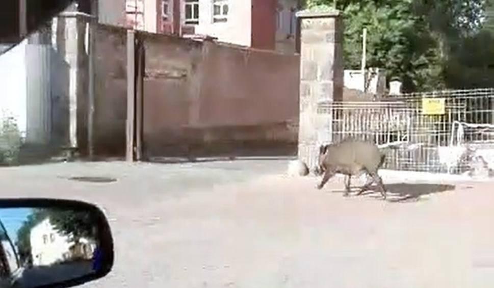 Film do artykułu: Dzik w centrum Białegostoku. Galopował po ulicy Warszawskiej [WIDEO]