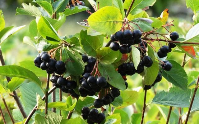 Krzewy aronii nie są trudne w uprawie, a dostarczają bardzo zdrowych owoców.