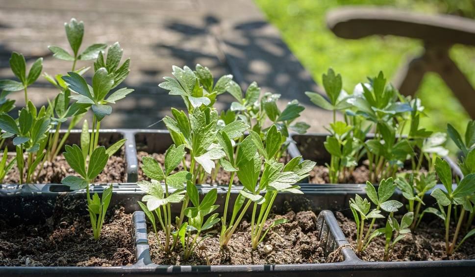 Film do artykułu: Te zioła pomogą nam zadbać o zdrowie. Afrodyzjakiem - lubczyk, a reszta? [lista]