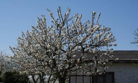 Kwitnąca czereśnia z działki