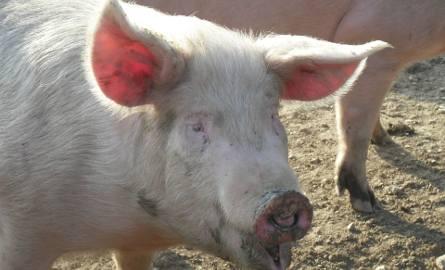 Świnia pogryzła 84-latkę. Kobieta zmarła