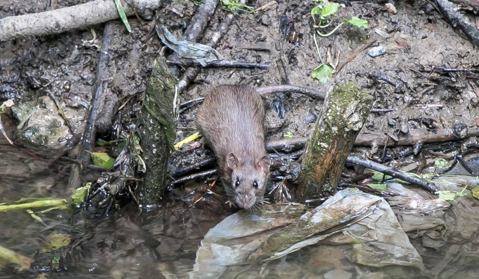 Film do artykułu: Plaga szczurów w Krakowie. Urzędnicy bagatelizują problem [ZDJĘCIA, WIDEO]