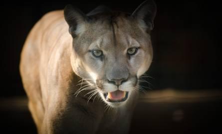 Puma w Ogrodzieńcu na wolności! Właściciel uciekł z pumą w las. Trwa obława. Co przyniosła interwencja pracowników zoo z Poznania