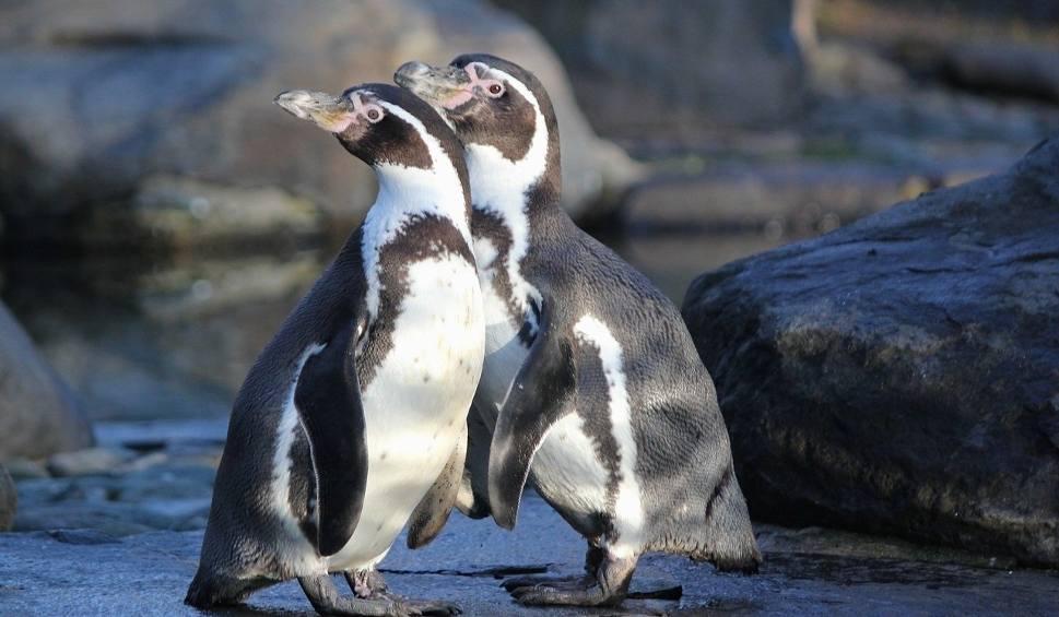 Film do artykułu: Zoo w Chorzowie otwarte od 1 czerwca. Zobaczcie zwierzaki, których nie można przegapić. Pingwiny będą hitem śląskiego zoo
